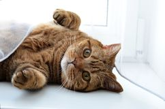 O gato britânico Fotografia de Stock Royalty Free