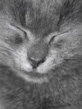O gato britânico cinzento está dormindo Fotografia de Stock