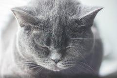 O gato britânico do cabelo curto caiu adormecido Imagens de Stock