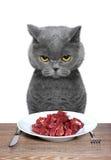 O gato britânico está indo comer a carne Imagem de Stock