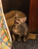 O gato calvo muito engraçado Sphynx está em seus patas e jogos imagens de stock