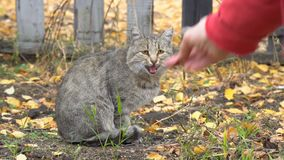 O gato cinzento é dado o alimento filme