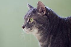O gato cinzento Imagem de Stock Royalty Free