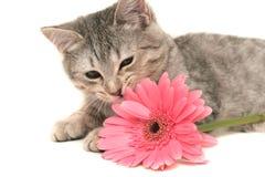 O gato cinzento Foto de Stock Royalty Free