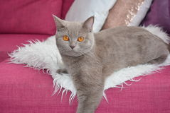 O gato cinzento Foto de Stock