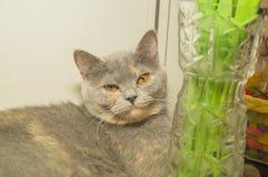 O gato cinzento bonito Imagens de Stock