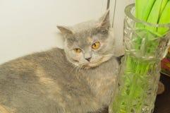 O gato cinzento bonito Foto de Stock Royalty Free
