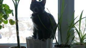 O gato cinzento bonito senta-se em um peitoril da janela em um vaso de flores cercado por plantas verdes video estoque