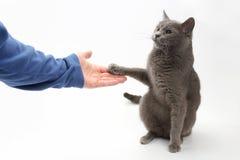 O gato cinzento dá uma pata na palma da pessoa Fotos de Stock Royalty Free
