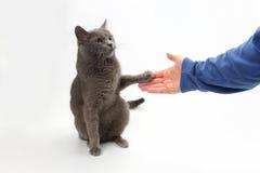 O gato cinzento dá uma pata na palma da pessoa Fotos de Stock