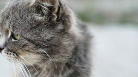 O gato cinzento desabrigado lambe lãs, infeliz e sujo doentes na rua video estoque