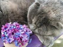 O gato cinzento dorme ao lado de um ramalhete dos lilás e dos miosótis Imagem de Stock Royalty Free