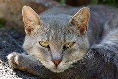O gato cinzento encontra-se na pata e olha-se Fotos de Stock