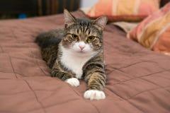 O gato cinzento está encontrando-se na cama Fotos de Stock Royalty Free