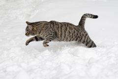 O gato cinzento está saltando na neve fotos de stock royalty free