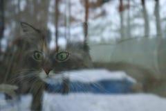 O gato cinzento macio olha em casa a rua Vista da parte externa Canadense Forest Cat fotos de stock