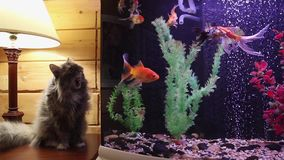 O gato cinzento macio olha peixes em um aquário video estoque
