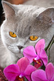 O gato cinzento pensa Foto de Stock Royalty Free