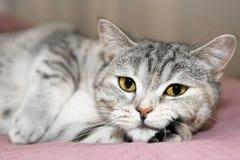O gato cinzento pensa sobre o rato imagem de stock