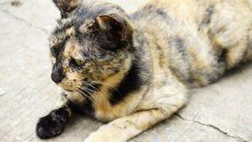 O gato com cor preta e alaranjada inclina-se no assoalho Fotografia de Stock