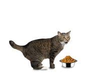 O gato com fome e está indo comer Fotografia de Stock Royalty Free