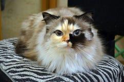 O gato com olhos azuis cósmicos olha o close up da câmera fotografia de stock royalty free