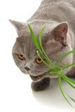 O gato come uma grama imagens de stock royalty free