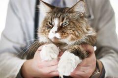 O gato contaminado tem problemas com os olhos imagens de stock