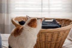 O gato contempla saltar na cesta de lavanderia fotos de stock