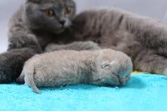 O gato da mãe toma de seus gatinhos Imagem de Stock Royalty Free