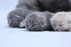 O gato da mãe toma de seus gatinhos Imagens de Stock