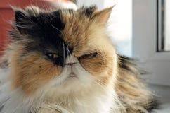 O gato da raça persa senta-se em um peitoril da janela Fotos de Stock Royalty Free