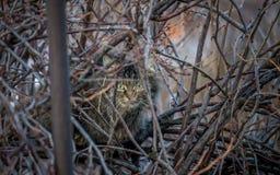 O gato da rua senta-se entre os ramos e olhar fixamente Foto de Stock