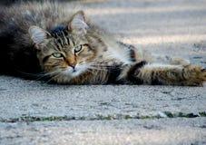 O gato da vaquinha olha fixamente para baixo Imagens de Stock