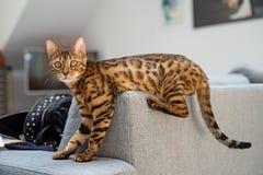 O gato de Bengal encontra-se no sofá fotografia de stock royalty free