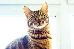 O gato de Bengal está sentando-se contra a janela Foto de Stock Royalty Free