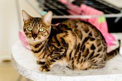 O gato de Bengal está sentando-se em uma tabela e está olhando-se a câmera Fotos de Stock Royalty Free