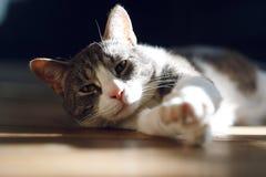 O gato de casa cinzento listrado encontra-se no assoalho fotos de stock royalty free