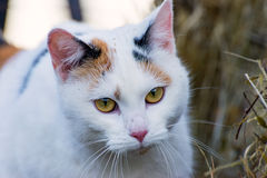 O gato de chita Foto de Stock Royalty Free