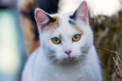 O gato de chita Imagem de Stock