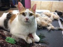O gato de chita preparou a preparação derramando brinquedos peludos do gato da pele dos hairballs foto de stock