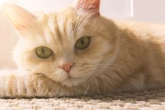 O gato de creme bonito encontra-se no assoalho, close-up fotografia de stock