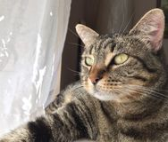 O gato de gato malhado de Brown olha na luz foto de stock royalty free