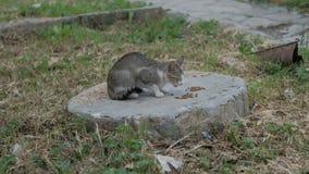 O gato de gato malhado desabrigado come o alimento com avidez no close up da rua video estoque