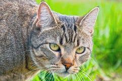 O gato de gato malhado espreita sobre Fotos de Stock