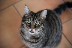 O gato de gato malhado visto de cima de, lambe os bordos ao esperar o alimento imagens de stock royalty free
