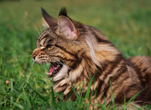 O gato de Maine Coon. Foto de Stock