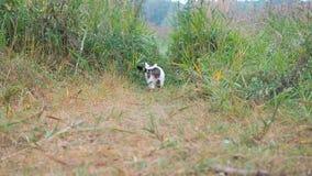 O gato de gato malhado branco-cinzento novo está andando na grama verde O gato doméstico está caçando no fraco O gato senta-se na vídeos de arquivo