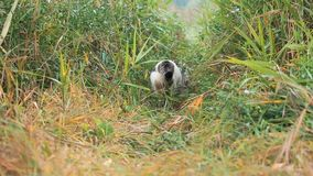 O gato de gato malhado branco-cinzento novo está andando na grama verde O gato doméstico está caçando no fraco O gato senta-se na filme