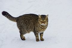 O gato de gato malhado cinzento está na neve na rua Fotos de Stock Royalty Free